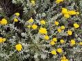 Helichrysum moeserianum PICT1259.JPG