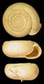Helicodonta obvoluta.png