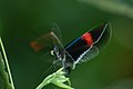 Heliconius erato cyrbia (Erato Heliconian) 2015-06-09 (1) (26458113418).jpg