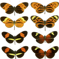 The butterfly genus Heliconius contains many similar species.