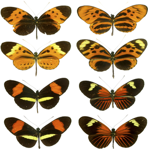Heliconius - Forms of Heliconius numata, H. melpomene and H. erato