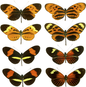 The Heliconius butterflies from the tropics of the Western Hemisphere are the classical model for Mullerian mimicry. Heliconius mimicry.png