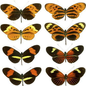 Mimicry in Butterflies Is Seen here on These C...