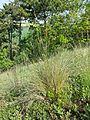 Helictotrichon desertorum subsp. basalticum sl8.jpg