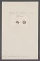 Helix herbicola - - Print - Iconographia Zoologica - Special Collections University of Amsterdam - UBAINV0274 089 01 0077.tif