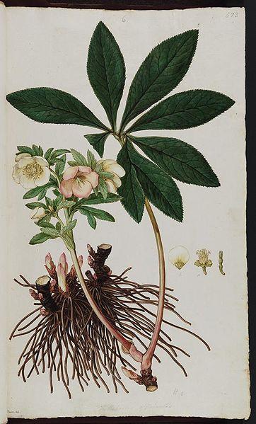 Hellebores officinalis