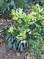 Helleborus foetidus 4.jpg
