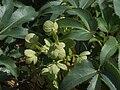 Helleborus lividus a1.jpg