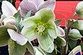 Helleborus x nigersmithii Ivory Prince 0zz.jpg