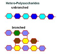 humans store their polysaccharides in the form of