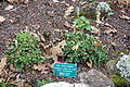 Heuchera cylindrica - Regional Parks Botanic Garden, Berkeley, CA - DSC04284.JPG