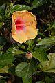 Hibiscus - Agri-Horticultural Society of India - Alipore - Kolkata 2013-01-05 2245.JPG