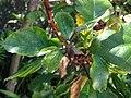 Hibiscus 3 (6066645712).jpg