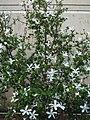 Hibiscus arnottianus subsp. immaculatus (5112731759).jpg