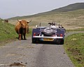Highland cattle on the mountain road - geograph.org.uk - 220424.jpg