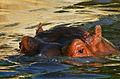 Hippo (7313892676).jpg