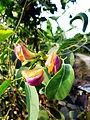 Hoa và lá đậu ma.jpg