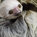Hoffmanns Two-Toed Sloth.jpg