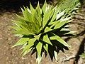 Hojas de la especie arbórea Araucaria araucana, en Icalma, Región de La Araucanía, Chile.jpg