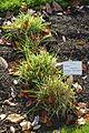 Holcus lanatus - Botanischer Garten Braunschweig - Braunschweig, Germany - DSC04386.JPG