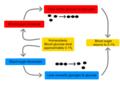 Homeostasis of blood sugar.png