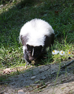 Hooded Skunk (Gelsenkirchen).jpg