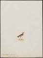 Hoplopterus melanopterus - 1820-1860 - Print - Iconographia Zoologica - Special Collections University of Amsterdam - UBA01 IZ17200173.tif