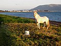 Horse on the shore at Ballytrasna - geograph.org.uk - 980129.jpg