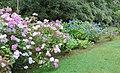 Hortensias at Muckross 2.jpg