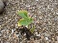 Hosta cultiva Truro.JPG