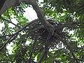 House Crow Corvus splendens by Raju Kasambe DSCN0468 (7) 18.jpg