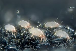 House dust mite - Image: House dust mites (5247996458)