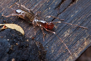 Schizomida - Female Hubbardia pentapeltis