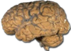 Human brain NIH.png