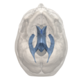 Human ventricular system - bottom view.png