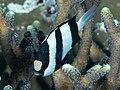 Humbug dascyllus (Dascyllus aruanus) (31875162057).jpg