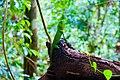 Hump nosed lizard.jpg