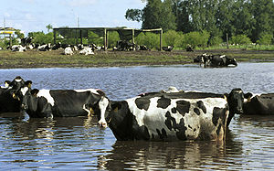 Cows walking in flooded waters after Hurricane...