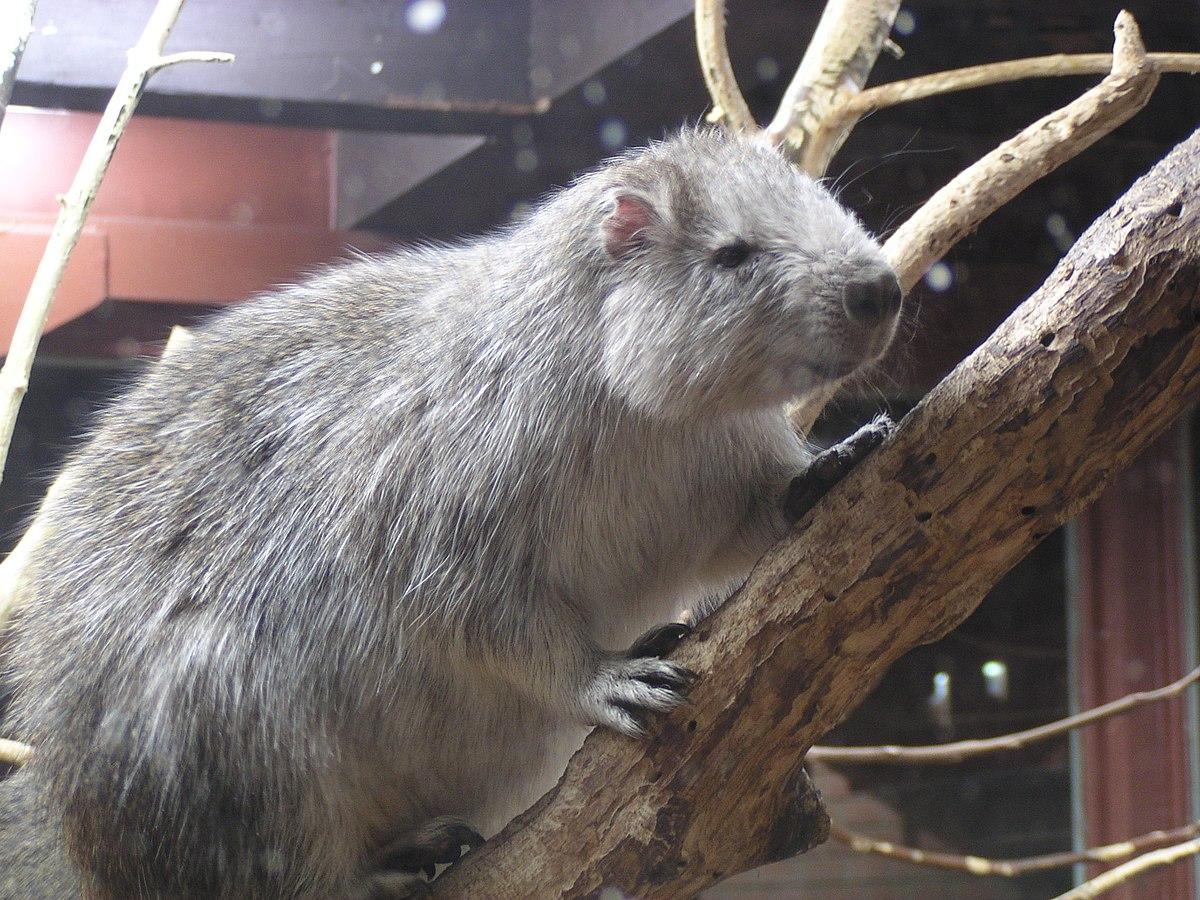 Fotó: Nem a patkány, hanem ez a szimpatikus rágcsáló okozta a pestisjárványokat