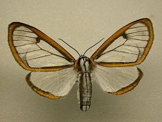 <i>Hyalurga</i> genus of insects