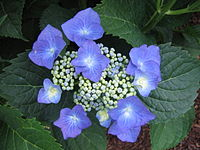 Hydrangea MacrophyllaTaube.JPG