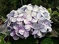 Hydrangea flowers.jpg
