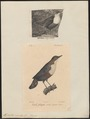 Hydrobata cinclus - 1700-1880 - Print - Iconographia Zoologica - Special Collections University of Amsterdam - UBA01 IZ16300381.tif