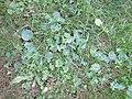 Hydrocotyle umbellata L. (AM AK356688-3).jpg