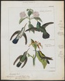Hylocharis caerulea - 1820-1860 - Print - Iconographia Zoologica - Special Collections University of Amsterdam - UBA01 IZ19100485.tif
