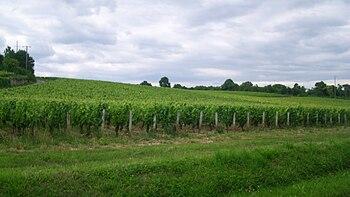 IMG Vignes à Mellecey.JPG