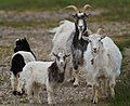 Icelandic goats.jpg