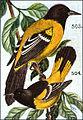 Icterus melanocephalus audubonii.jpg