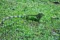 Iguana (45176184315).jpg