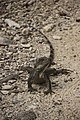 Iguana (Iguana iguana) (11717669015).jpg